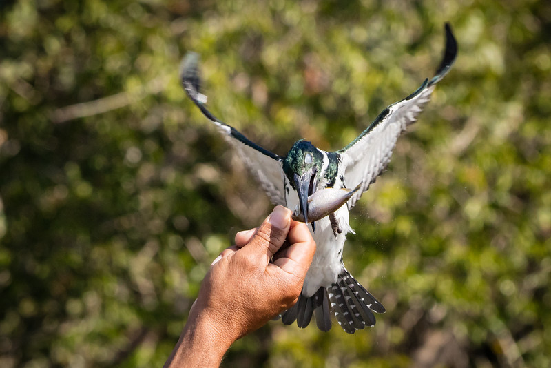 A courageous Amazon kingfisher flying to take this little fish out of the guide's hand.