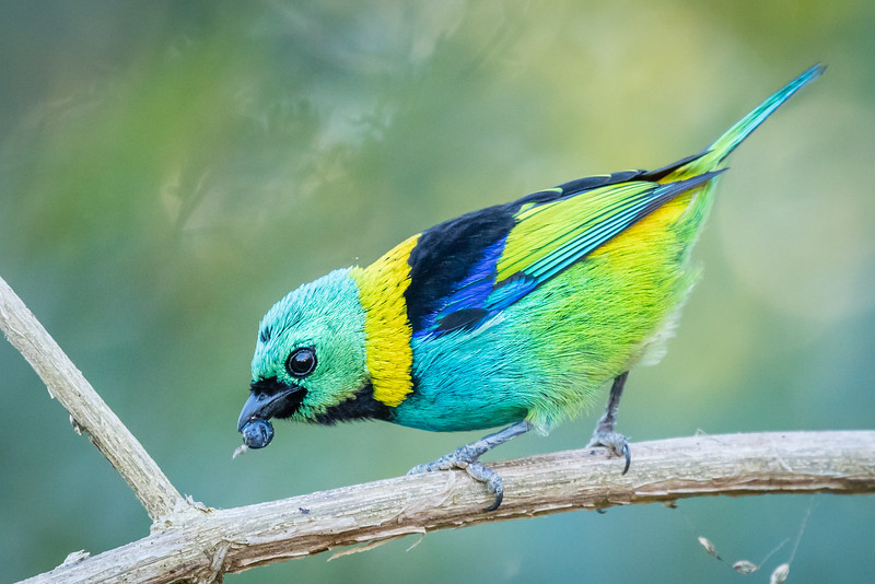 What a show-stopper. This is a green-headed tanager.