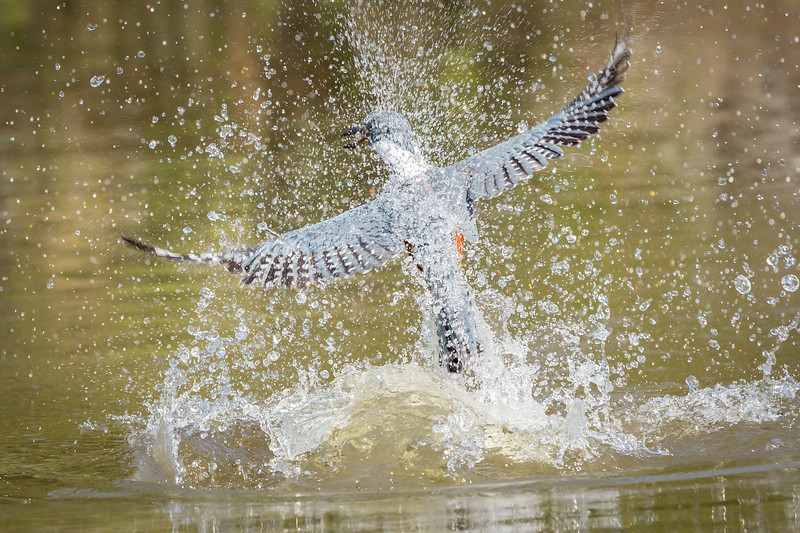 These are ringed kingfishers striking the water with amazing speed and precision.
