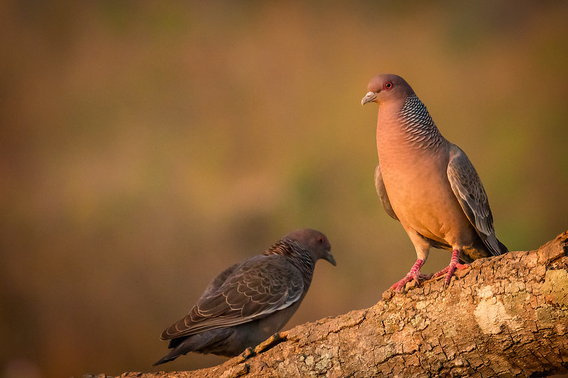 Pigeons are often ignored by photographers, but this beautiful picazuro pigeon really stood out in the early morning light.
