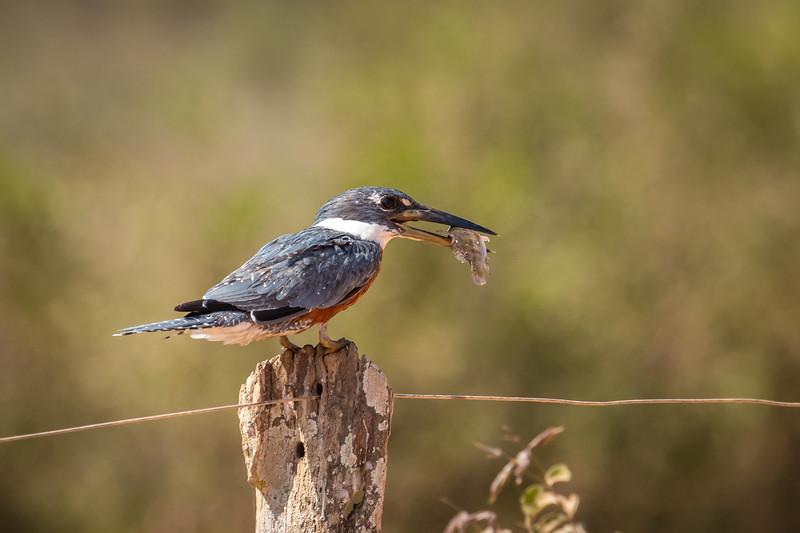 Kingfisher with fish in beak.