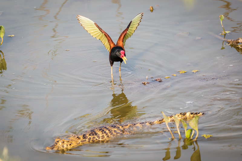 I was stunned to see this jacana almost attack this caiman, shooing him away from his territory.