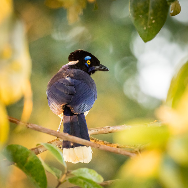 Backside view of the curl crested Jay.