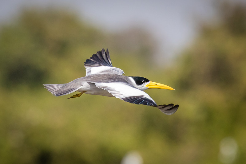 A large-billed tern that flew by us on our way to SouthWild.