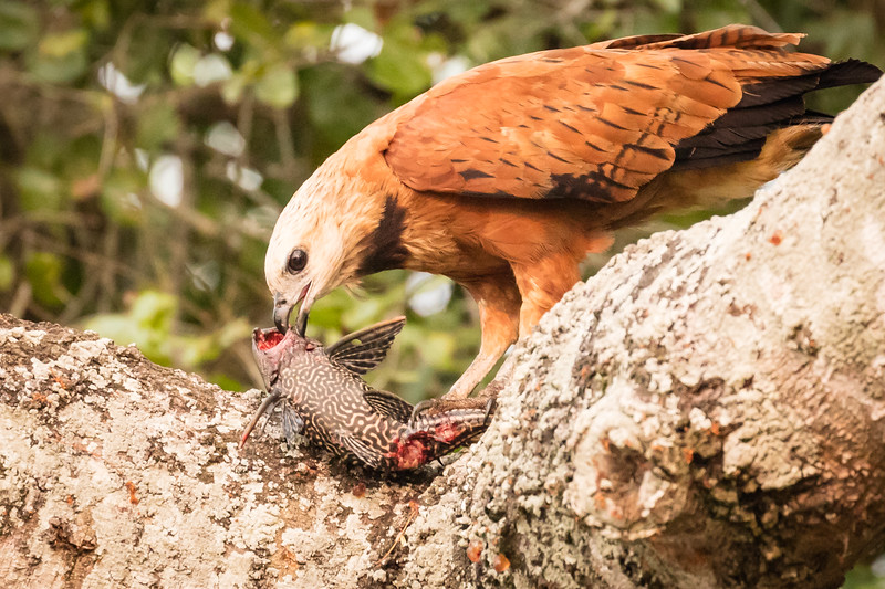 Black-collared hawks will take their catch into a tree for a scrumptious meal.