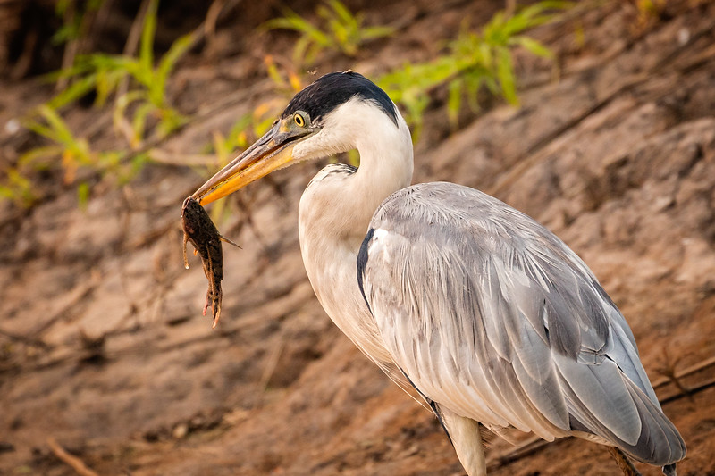 We saw many cocoi herons along the river edges. Here's one with a catch.