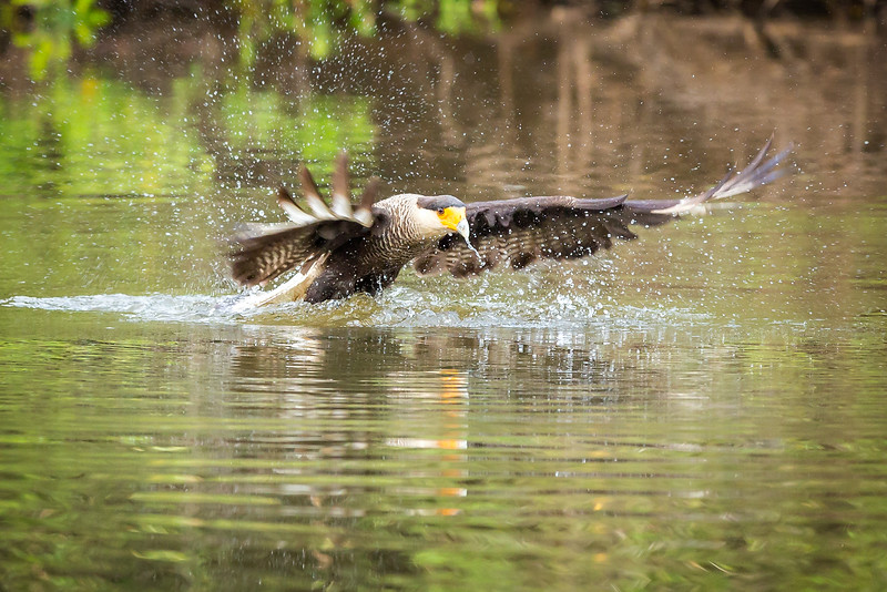 And here is a caracara swooping in for the catch.