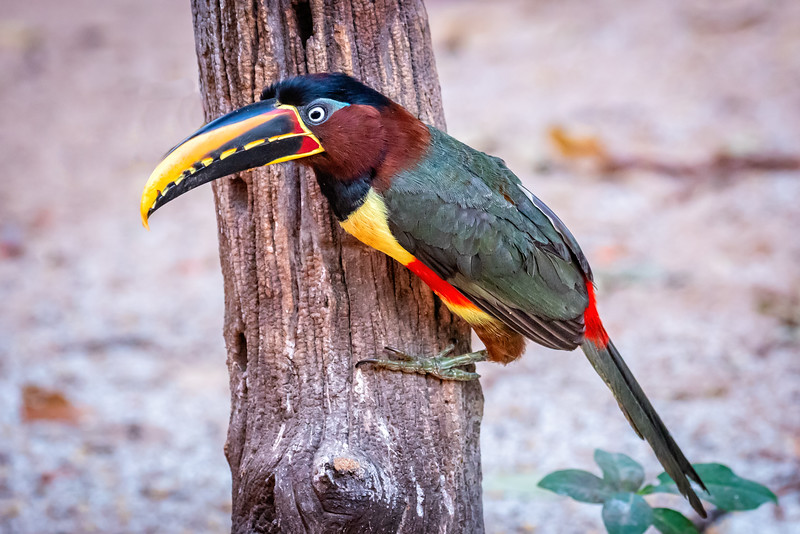 We saw the aracari later in the journey.