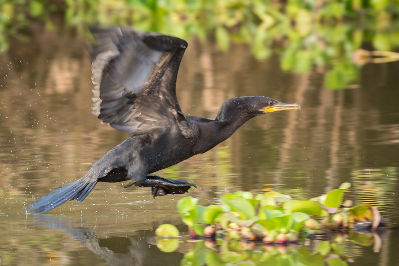Cormorant taking off in pursuit of another fish.