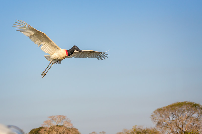 This is a jabiru stork, typically 5 feet tall with a wingspan of 7-9 feet.