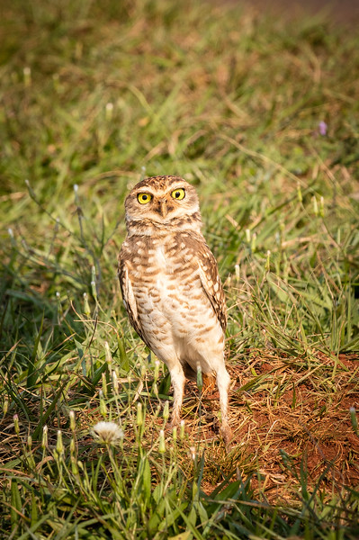 We were crossing the border between Brazil and Argentina when our guide spotted this burrowing owl. We all bailed out of our van and slowly approached the owl who posed for us nicely.