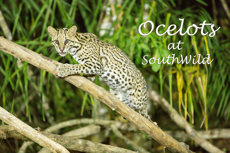At SouthWild a blind was set up to photograph ocelots, a nocturnal animal. A person would put out some food and we would wait for the cats to come. We saw two different cats over the two nights. No cat showed up the third night.