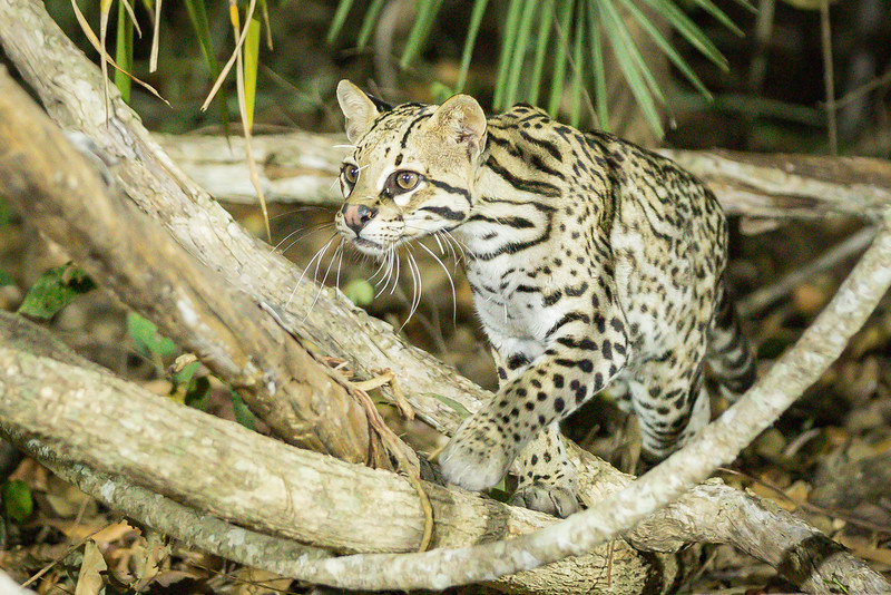 Look closely at this ocelot's face and you'll see he tangled with a porcupine.