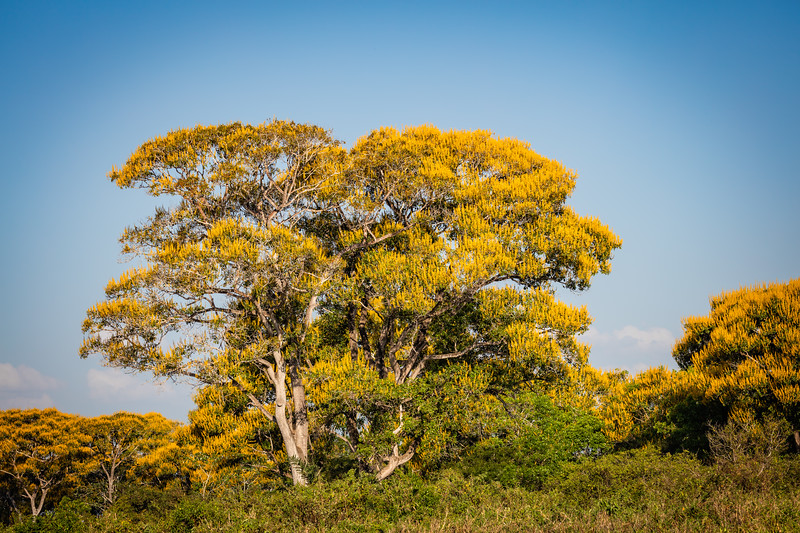 One of the colorful trees that were blooming as Brazil goes into its spring.