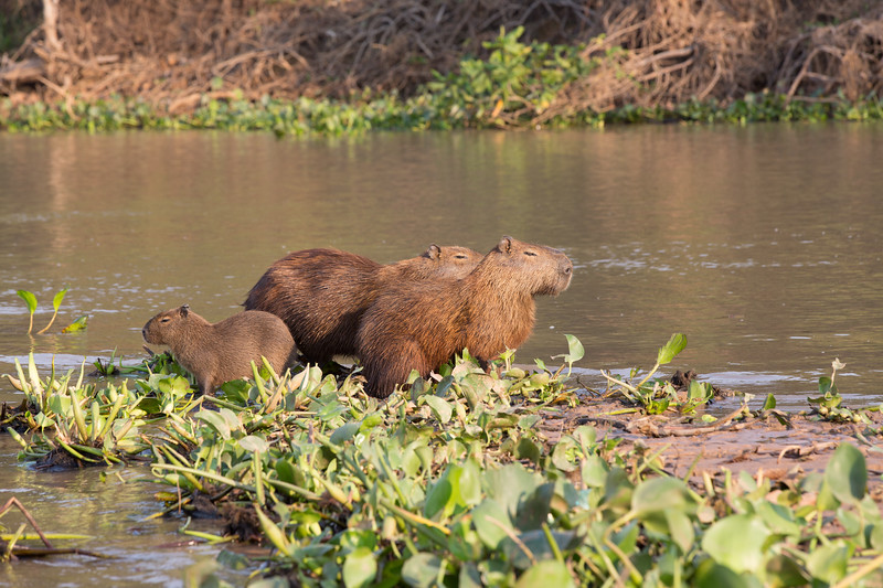 These critters are capybaras, cuddly but not quite cute.