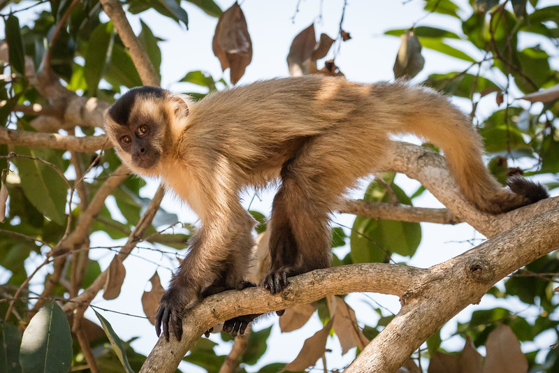 This is a brown capuchin monkey which we saw at the last lodge we stayed. We did not see many monkeys.