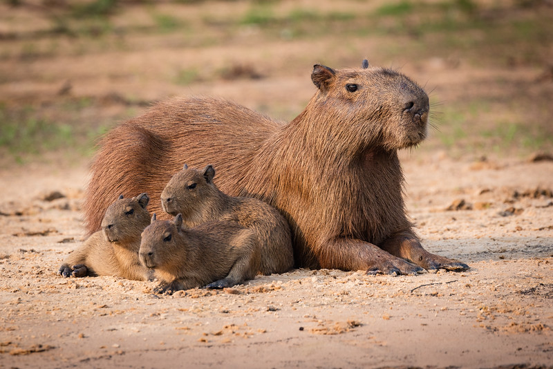 Moma capybara with three cubs.