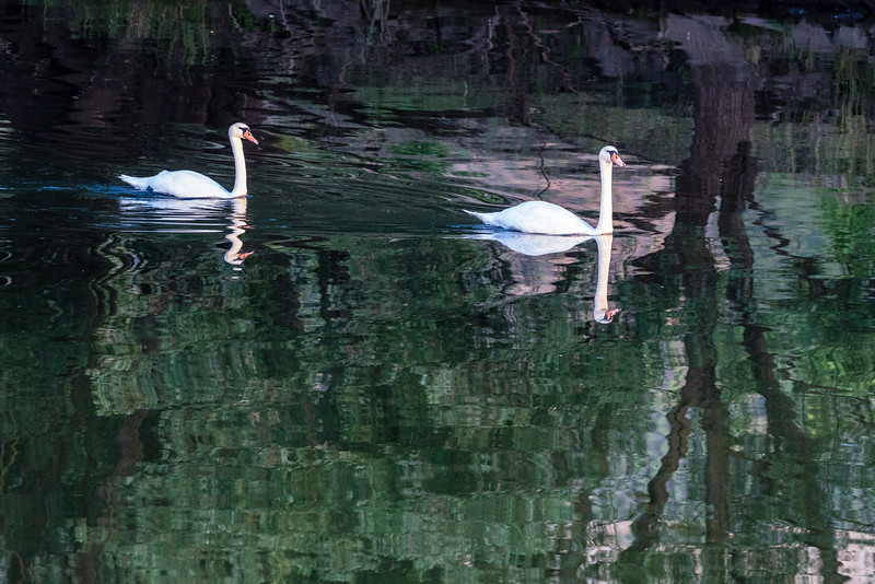The Mosel River hosted many swans.
