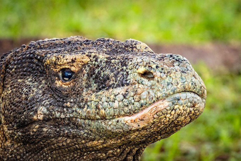 Komodo dragons are the largest lizard on earth and are found only in Indonesia.