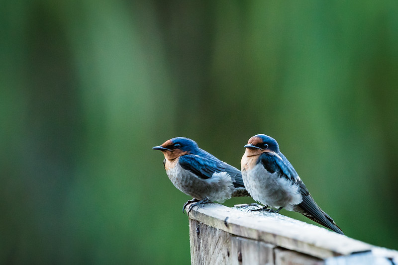 Here are a few other photos of birds we saw on the trip. These are two swallows.
