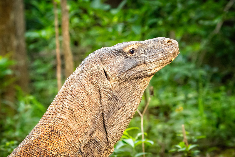 We were lucky to come across 6 komodo dragons on our hike through the jungle.