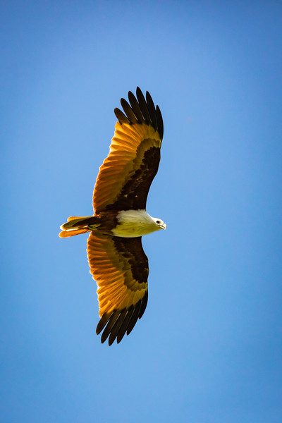 An eagle soaring above us.
