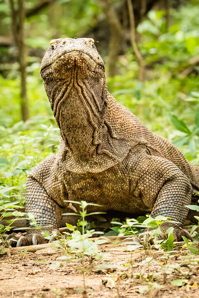 A little known fact is that komodo dragons can dive in the water to about 15 feet.