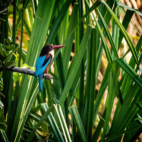 Another white-throated kingfisher.