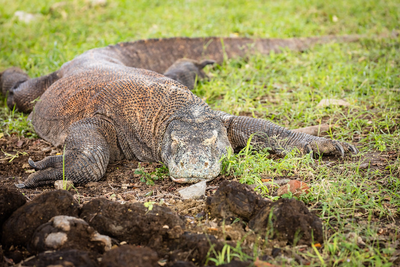 We found several komodo dragons lying around during the afternoon heat.