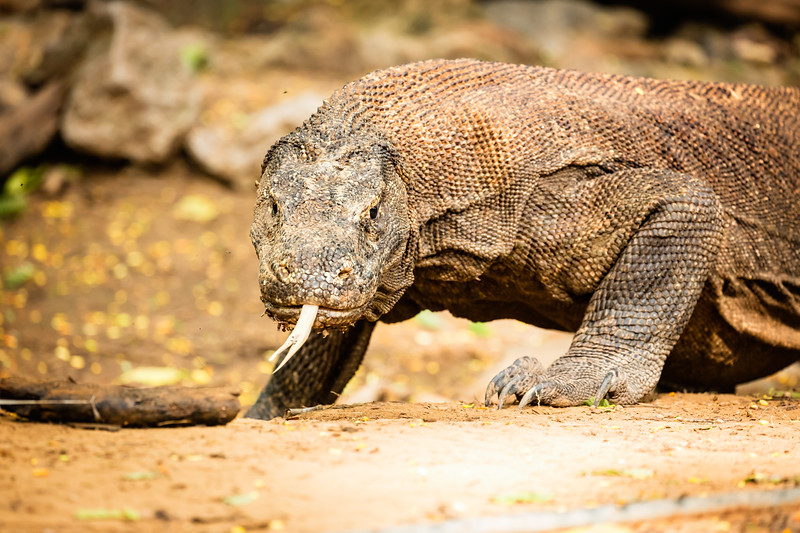 We had a guide with us who carried a forked stick and would use it when the komodo dragons would approach us.