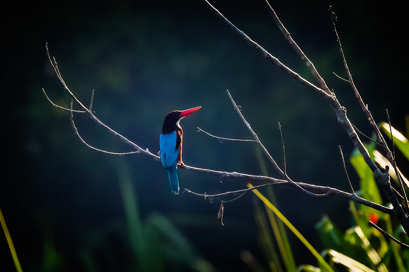 White-throated kingfisher from the back side.