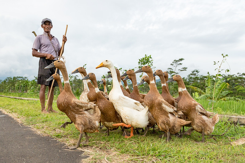 A farmer herding his geese by the rice fields.