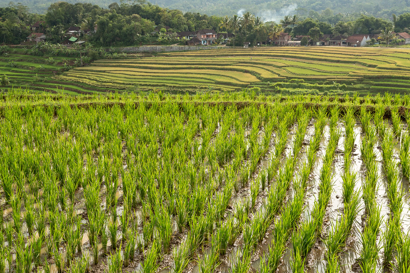 A fairly new planted field with more mature rice fields in the background.