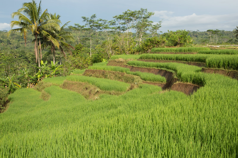 More terraced rice fields.