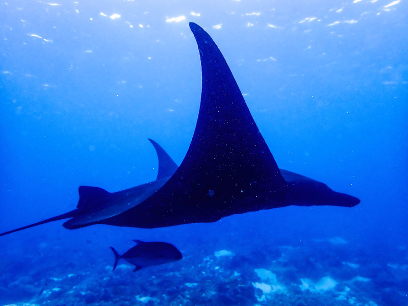 We snorkeled to see the manta rays. These photos were taken by our guide who dove down without scuba equipment to shoot these photographs.