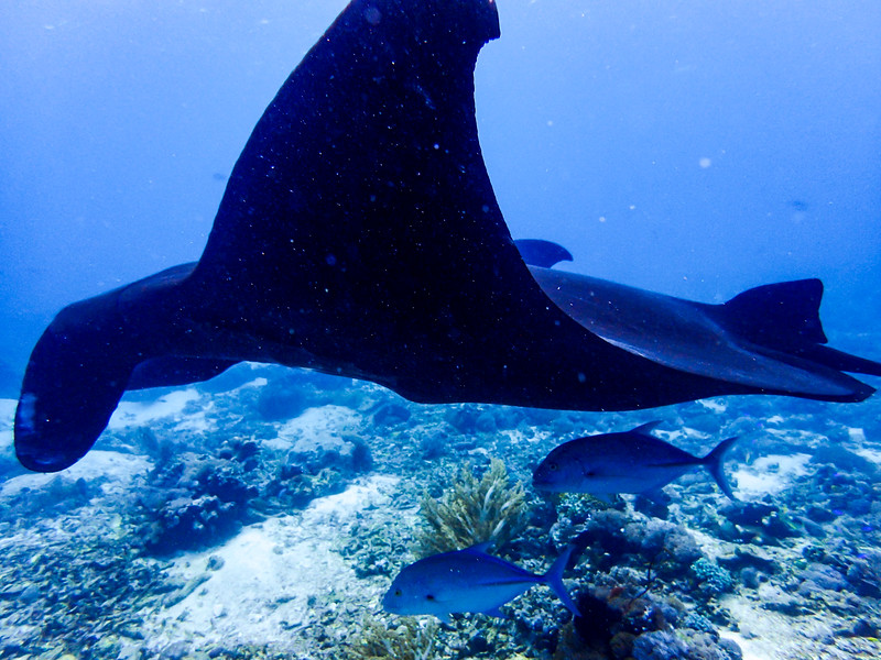 "Here you see the manta ray with two ""cleaner"" fish that live symbiotically, each helping the other."