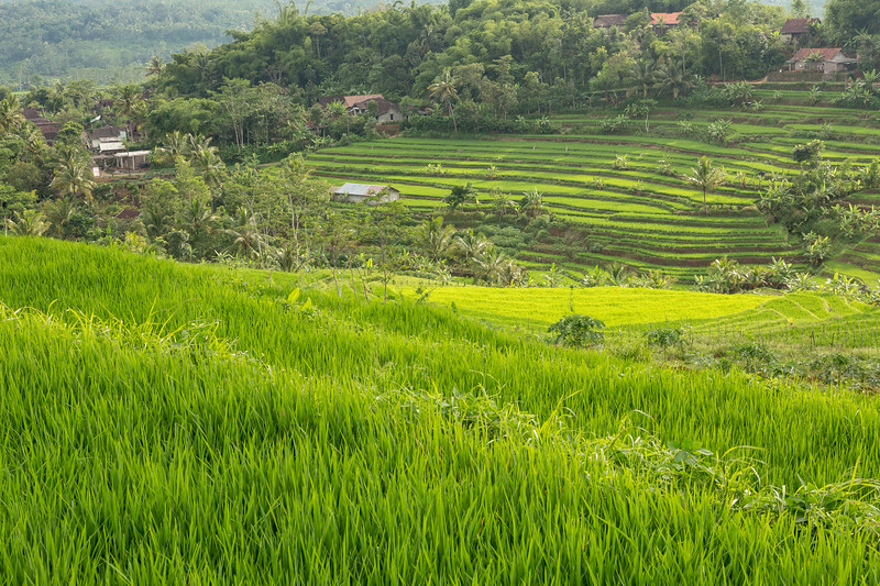 Local rice fields.