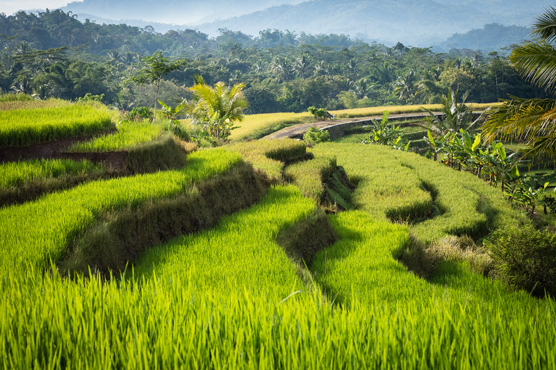 Rice growing to maturity in heavily-terraced fields.