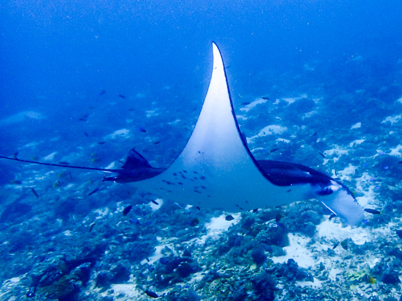 Another manta ray.