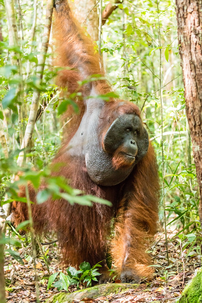 Here is one of the bigger and older orangutans to come to the feeeding site.