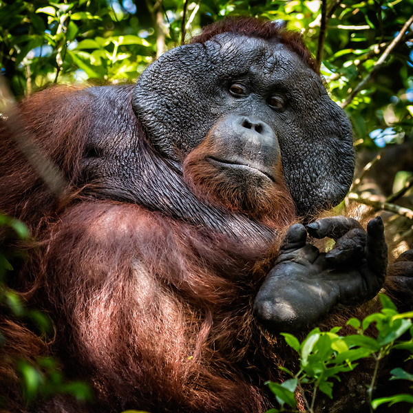 And as this big fellow indicates, we hope the future of orangutans in Borneo will be OK.
