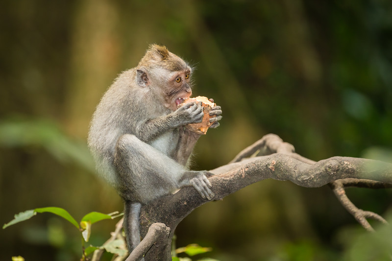 Monkey eating sweet potato.