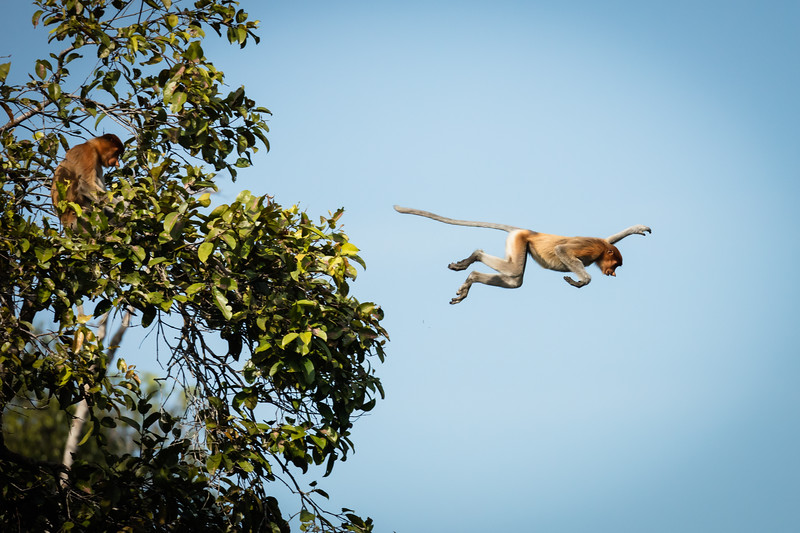 This is a series of 6 photos showing these monkeys leaping, not from one branch or tree to another, but leaping into the river.