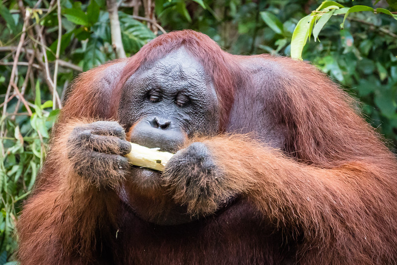 Another orangutan eating sugar cane, their alternate food to bananas.