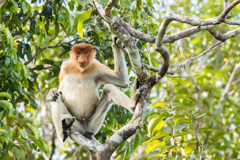 They are proboscis monkeys easily recognized by their prominent nose.