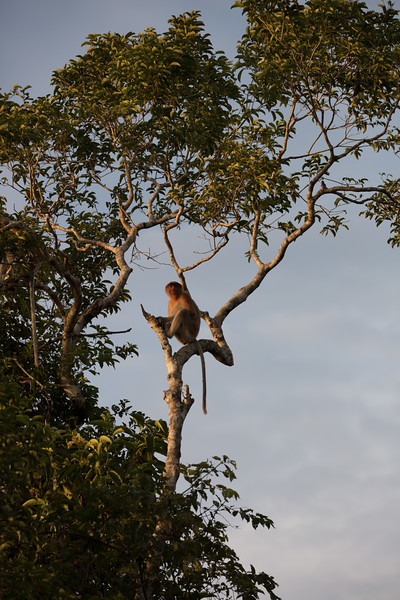 These monkeys lke to perch high in trees.