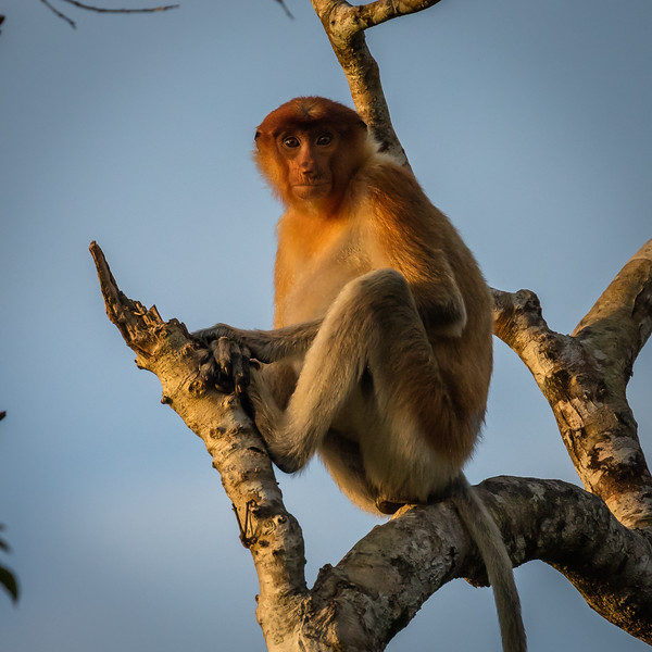 We felt fortunate to be able to watch these proboscis monkeys play because they can only be seen in Borneo.