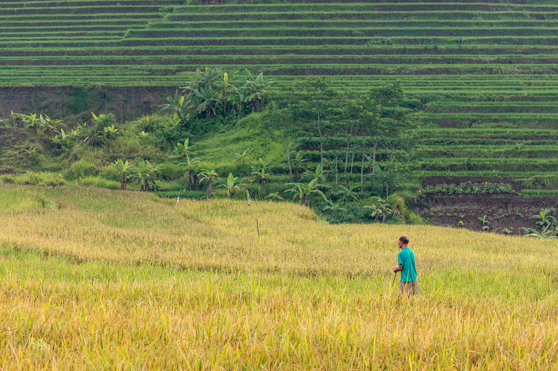 A lone worker in the rice field that is about ready to be harvested.