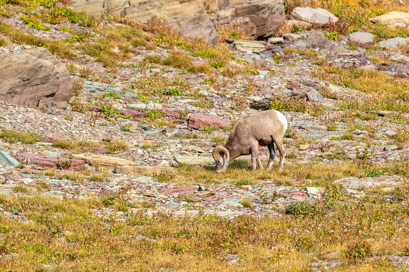 A lonely big horn sheep.