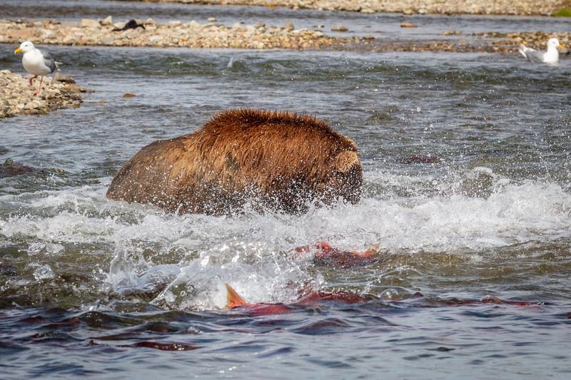 Now where are thos salmon